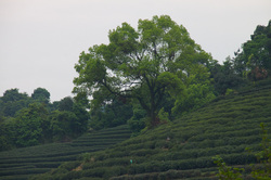 Plantation on a hillside